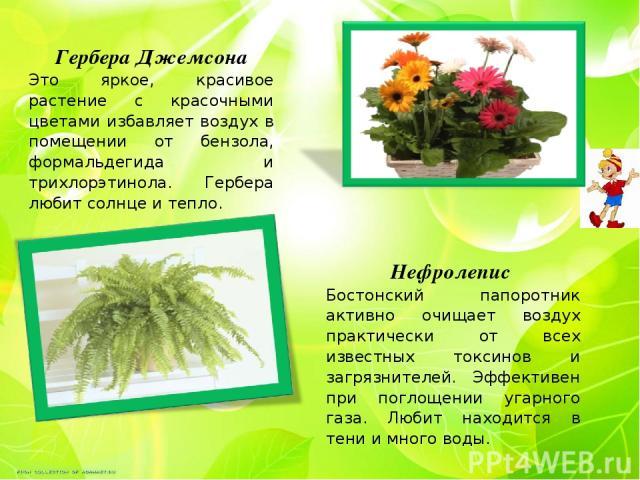 Гербера Джемсона Это яркое, красивое растение с красочными цветами избавляет воздух в помещении от бензола, формальдегида и трихлорэтинола. Гербера любит солнце и тепло. Нефролепис Бостонский папоротник активно очищает воздух практически от всех из…