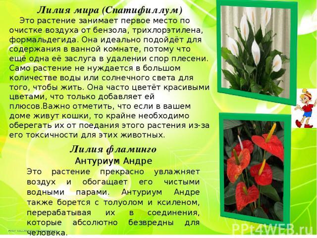 Лилия мира (Спатифиллум) Это растение занимает первое место по очистке воздуха от бензола, трихлорэтилена, формальдегида. Она идеально подойдёт для содержания в ванной комнате, потому что ещё одна её заслуга в удалении спор плесени. Само растение не…