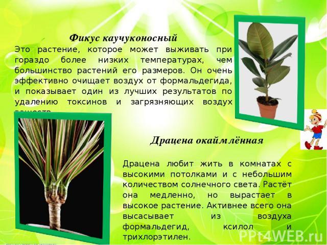 Фикус каучуконосный Это растение, которое может выживать при гораздо более низких температурах, чем большинство растений его размеров. Он очень эффективно очищает воздух от формальдегида, и показывает один из лучших результатов по удалению токсинов …