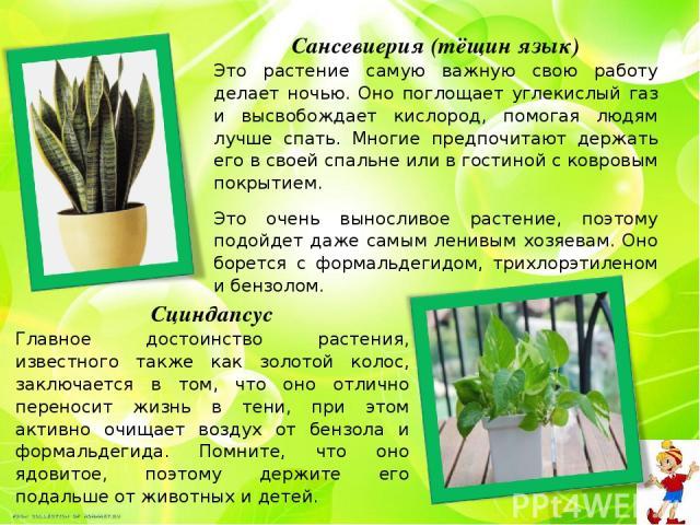 Сансевиерия (тёщин язык) Это растение самую важную свою работу делает ночью. Оно поглощает углекислый газ и высвобождает кислород, помогая людям лучше спать. Многие предпочитают держать его в своей спальне или в гостиной с ковровым покрытием. Это оч…