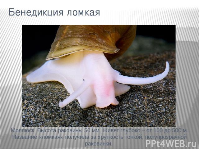 Бенедикция ломкая Моллюск. Высота раковины 50 мм. Живет глубоко – от 100 до 500 м. Название «ломкая» получила за хрупкость тонкой, полупрозрачной раковинки.
