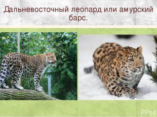 Дальневосточный леопард или амурский барс.