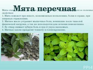 Мята перечная Мята очень полезное растение. Но, к сожалению, не все знают о всех