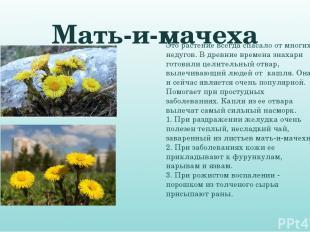 Мать-и-мачеха Это растение всегда спасало от многих недугов. В древние времена з