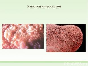 Язык под микроскопом