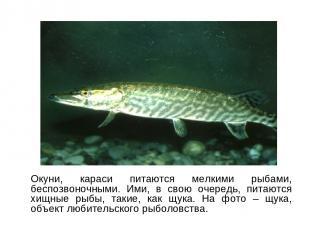 Окуни, караси питаются мелкими рыбами, беспозвоночными. Ими, в свою очередь, пит