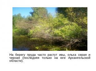 На берегу пруда часто растут ивы, ольха серая и черная (последняя только на юге