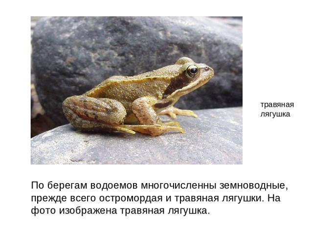 По берегам водоемов многочисленны земноводные, прежде всего остромордая и травяная лягушки. На фото изображена травяная лягушка. травяная лягушка