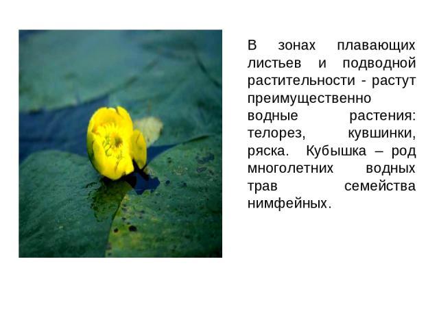В зонах плавающих листьев и подводной растительности - растут преимущественно водные растения: телорез, кувшинки, ряска. Кубышка – род многолетних водных трав семейства нимфейных.