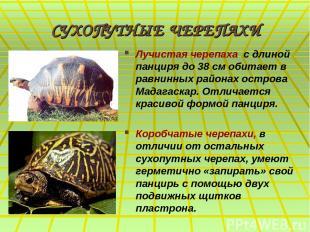 СУХОПУТНЫЕ ЧЕРЕПАХИ Лучистая черепаха с длиной панциря до 38 см обитает в равнин