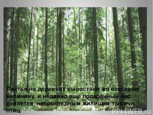 Листья на деревьях вырастают во всю свою величину, и недавно еще прозрачный лес