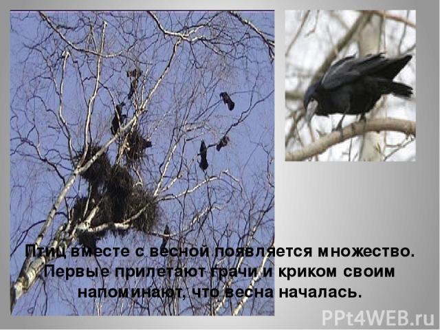 Птиц вместе с весной появляется множество. Первые прилетают грачи и криком своим напоминают, что весна началась.