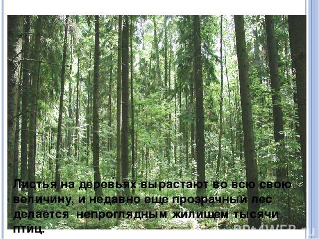 Листья на деревьях вырастают во всю свою величину, и недавно еще прозрачный лес делается непроглядным жилищем тысячи птиц.
