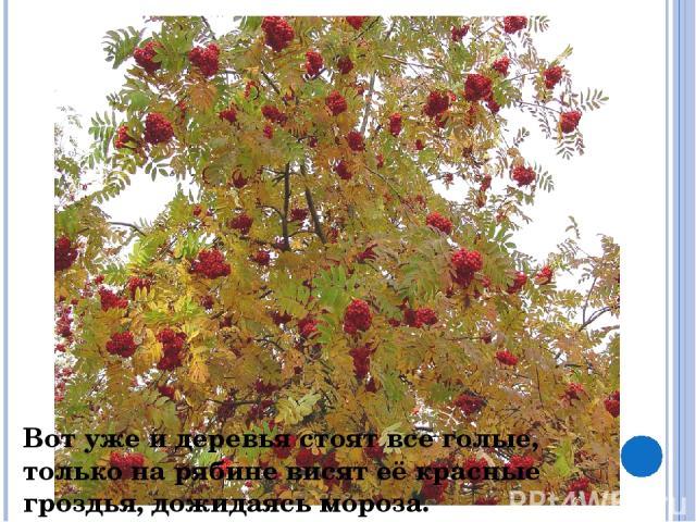 Вот уже и деревья стоят все голые, только на рябине висят её красные гроздья, дожидаясь мороза.