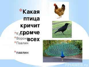 Какая птица кричит громче всех Курица Ворона Павлин павлин