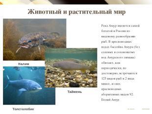 Животный и растительный мир Река Амур является самой богатой в России по видовом