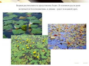Водная растительность представлена бедно. В основном русле реки встречается боло