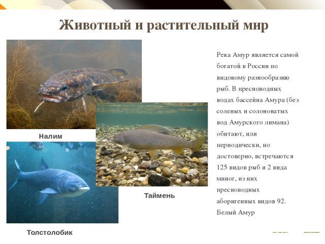 Животный и растительный мир Река Амур является самой богатой в России по видовому разнообразию рыб. В пресноводных водах бассейна Амура (без соленых и солоноватых вод Амурского лимана) обитают, или периодически, но достоверно, встречаются 125 видов …