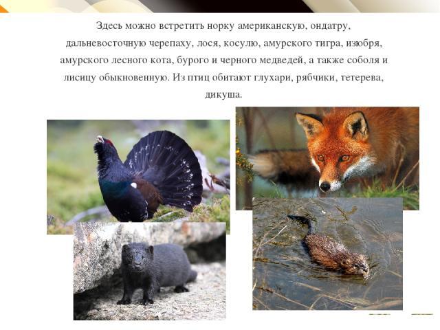Здесь можно встретить норку американскую, ондатру, дальневосточную черепаху, лося, косулю, амурского тигра, изюбря, амурского лесного кота, бурого и черного медведей, а также соболя и лисицу обыкновенную. Из птиц обитают глухари, рябчики, тетерева, …