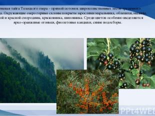 Черневая тайга Телецкого озера – прямой потомок широколиственных лесов третичног