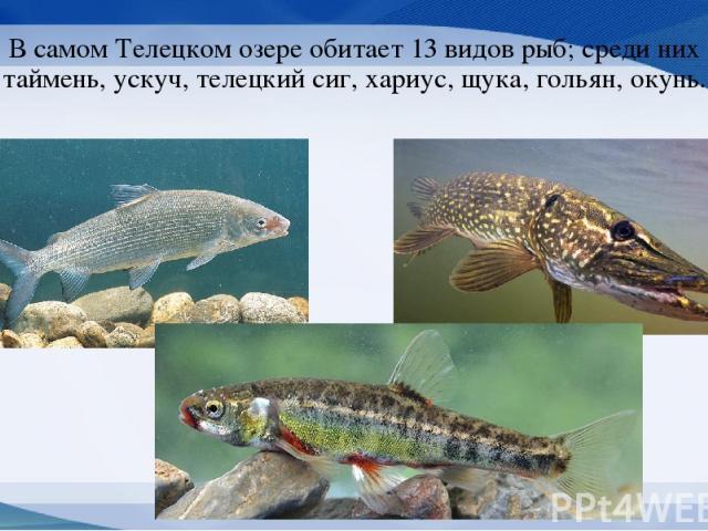 В самом Телецком озере обитает 13 видов рыб; среди них таймень, ускуч, телецкий сиг, хариус, щука, гольян, окунь.