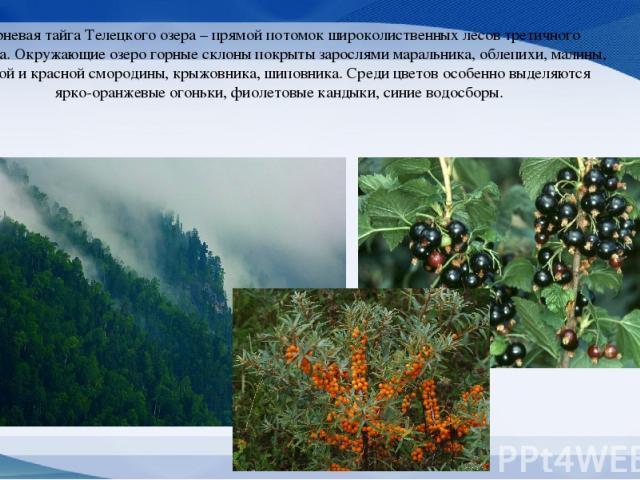 Черневая тайга Телецкого озера – прямой потомок широколиственных лесов третичного периода. Окружающие озеро горные склоны покрыты зарослями маральника, облепихи, малины, черной и красной смородины, крыжовника, шиповника. Среди цветов особенно выделя…