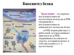 Биосинтез белка Трансляция – это перевод последовательности нуклеотидов молекулы