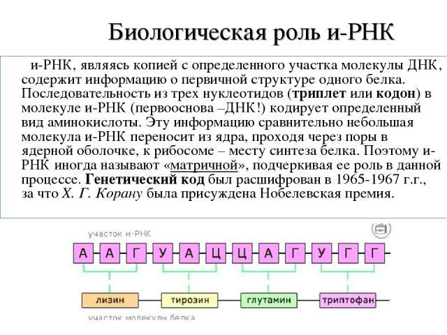 Биологическая роль и-РНК и-РНК, являясь копией с определенного участка молекулы ДНК, содержит информацию о первичной структуре одного белка. Последовательность из трех нуклеотидов (триплет или кодон) в молекуле и-РНК (первооснова –ДНК!) кодирует опр…
