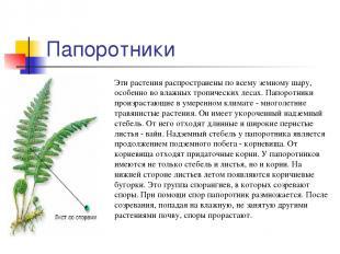 Папоротники Эти растения распространены по всему земному шару, особенно во влажн