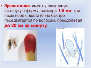 Зрелая вошь имеет уплощенную вытянутую форму, размеры 1-5 мм, три пары ножек, до