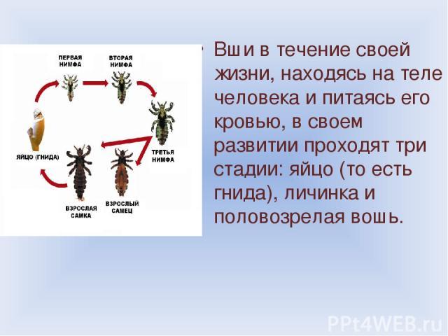 Вши в течение своей жизни, находясь на теле человека и питаясь его кровью, в своем развитии проходят три стадии: яйцо (то есть гнида), личинка и половозрелая вошь.