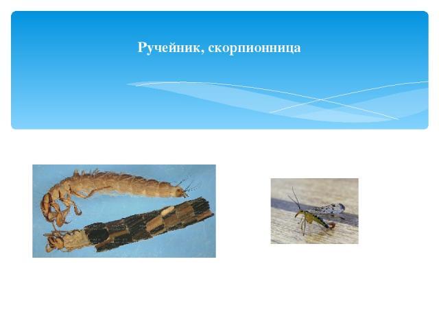 Ручейник, скорпионница