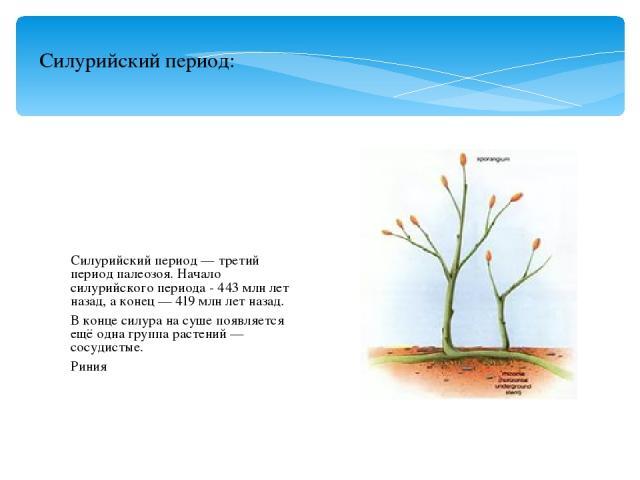 Силурийский период — третий период палеозоя. Начало силурийского периода - 443 млн лет назад, а конец — 419 млн лет назад. В конце силура на суше появляется ещё одна группа растений — сосудистые. Риния Силурийский период: