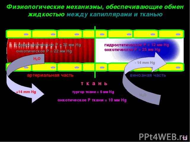 Физиологические механизмы, обеспечивающие обмен жидкостью между капиллярами и тканью артериальная часть венозная часть т к а н ь гидростатическое Р = 32 мм Hg онкотическое Р = 22 мм Hg гидростатическое Р = 12 мм Hg тургор ткани = 6 мм Hg онкотическо…