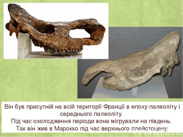 Він був присутній на всій території Франції в епоху палеоліту і середнього палеоліту. Під час охолодження періоди вона мігрували на південь. Так він жив в Марокко під час верхнього плейстоцену.