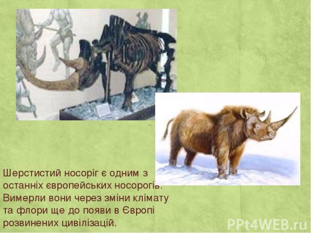 Шерстистий носоріг є одним з останніх європейських носорогів. Вимерли вони через зміни клімату та флори ще до появи в Європі розвинених цивілізацій.