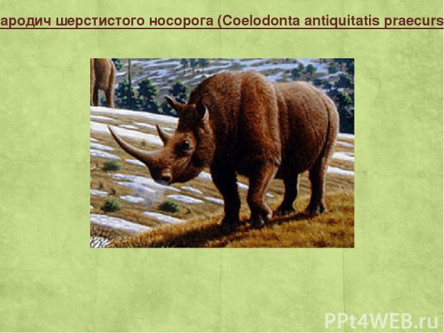 Прародич шерстистого носорога (Coelodonta antiquitatis praecursor)