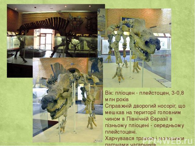 Вік: пліоцен - плейстоцен, 3-0,8 млн років Справжній дворогий носоріг, що мешкав на території головним чином в Північній Євразії в пізньому пліоцені - середньому плейстоцені. Харчувався травою і молодими пагонами чагарників.