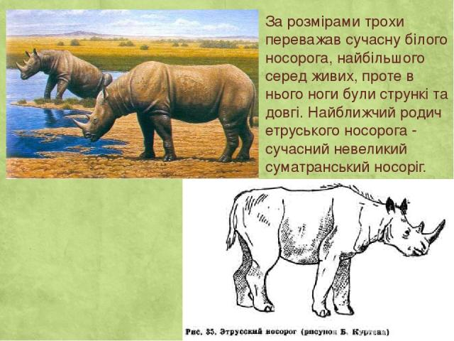 За розмірами трохи переважав сучасну білого носорога, найбільшого серед живих, проте в нього ноги були стрункі та довгі. Найближчий родич етруського носорога - сучасний невеликий суматранський носоріг.