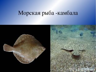 Морская рыба -камбала