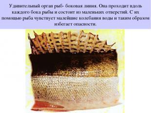 Удивительный орган рыб- боковая линия. Она проходит вдоль каждого бока рыбы и со