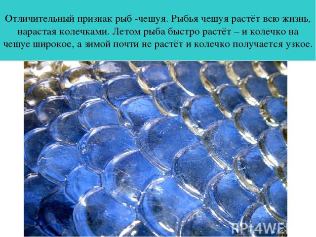 Отличительный признак рыб -чешуя. Рыбья чешуя растёт всю жизнь, нарастая колечками. Летом рыба быстро растёт – и колечко на чешуе широкое, а зимой почти не растёт и колечко получается узкое.