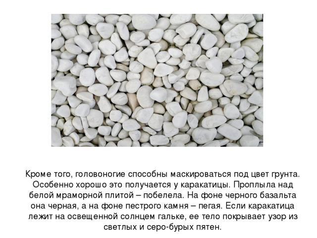 Кроме того, головоногие способны маскироваться под цвет грунта. Особенно хорошо это получается у каракатицы. Проплыла над белой мраморной плитой – побелела. На фоне черного базальта она черная, а на фоне пестрого камня – пегая. Если каракатица лежит…
