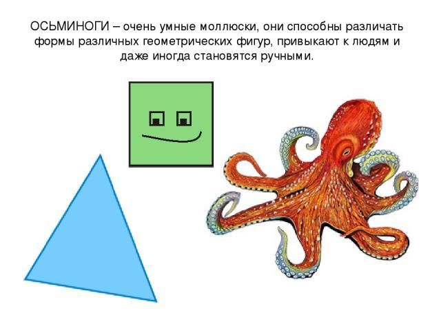 ОСЬМИНОГИ – очень умные моллюски, они способны различать формы различных геометрических фигур, привыкают к людям и даже иногда становятся ручными.