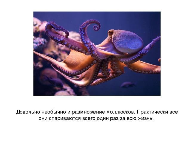 Довольно необычно и размножение моллюсков. Практически все они спариваются всего один раз за всю жизнь.