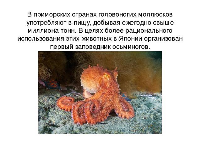 В приморских странах головоногих моллюсков употребляют в пищу, добывая ежегодно свыше миллиона тонн. В целях более рационального использования этих животных в Японии организован первый заповедник осьминогов.