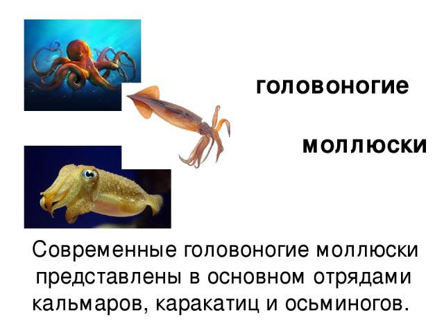 Современные головоногие моллюски представлены в основном отрядами кальмаров, каракатиц и осьминогов. головоногие моллюски