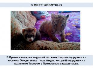 В Приморском крае амурский тигренок Шерхан подружился с хорьком. Это детеныш тиг