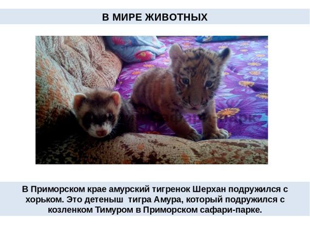 В Приморском крае амурский тигренок Шерхан подружился с хорьком. Это детеныш тигра Амура, которыйподружился с козленком Тимуром в Приморском сафари-парке. В МИРЕ ЖИВОТНЫХ