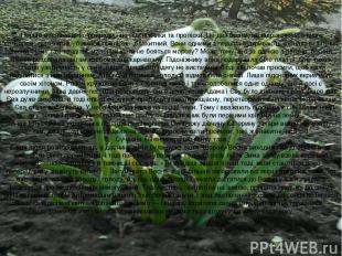 Перше весняне диво природи - це підсніжники та проліски. Це два брати, які
